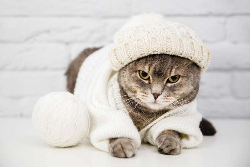 Cute cat with sweater