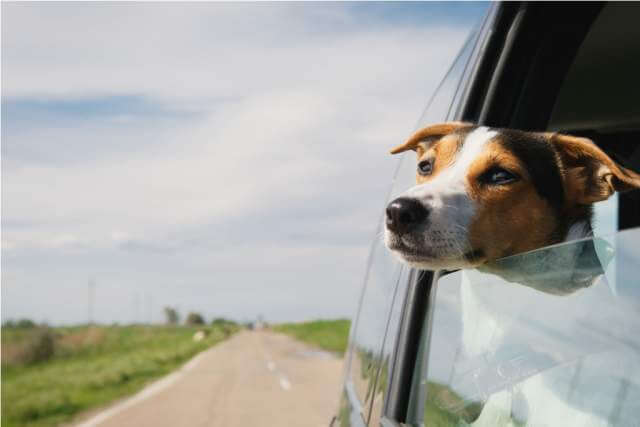 dog-rides-in-the-car