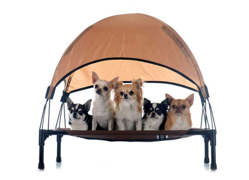 chihuahuas-on-four-poster