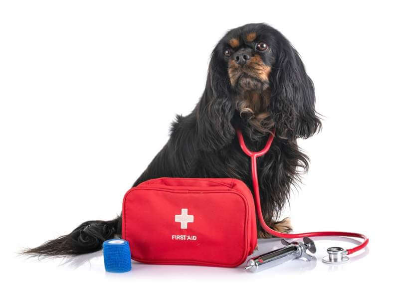 cavalier-king-charles-and-first-aid